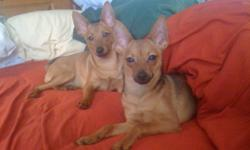 IF YOUR OFF AT WORK OR PLAY. THESE TWO DARLINGS WITH BE HAPPY ALL DAY.   NON-SHEDDING, CUDDLY, FUN LOVING, PLAYFUL, THEY ARE TRULY GREAT COMPANIONS.   Pomchesters are about 6 to 10 inches high. Weigh in at between 5 to 10 pounds. These puppies are