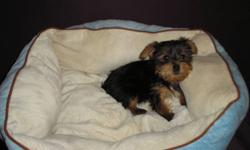 Tiny adorable female Yorkshire Terrier puppy for sale. She is a non shedding hypo allergenic beautiful little lap dog. She has her first set of shots, dew claws removed, and tails docked. The last picture is the mom and dad. We are located in Edmonton for