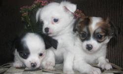 Absolutely adorable, tiny and super soft Pom-Chi puppies for sale. We have both males and females. They are 8 weeks old and ready to go. They come with their first shots, dewormed and vet checked. Father is a pomeranian and the mother is a chihuahua. Very