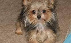 WANTED: Yorkie/Longhaired Chihuahua Cross Puppy (chorkie) Male or female. Adult size 2-4 lbs Longish fluffy hair. (something similar to pics)     If you have puppies - or are expecting puppies - please contact us.