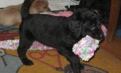 This little beauty is a multi-generational, non - very low shedding, Labradoodle and will be a max weigh of 40lbs Raised in our home, with loads of experience. Our puppies are extremely well socialized and raised with children and various other pets. She