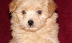 2 fluffy little Eski-poo boys, they have first shots, have been dewormed X 3, and are ready for their new homes. Mom is a toy Eskimo with a very sweet nature-dad is a toy poodle also very friendly and loving, both are quite small so I would expect the
