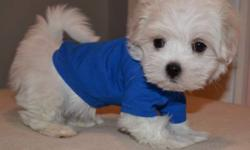 Teeny Tiny Male Maltese Mature weight will be 4-6 pounds (Average standard size Maltese mature to be 8-9 pounds, our are Maltese are on average 4-5 pounds) Vet certified, 1st vaccines, de-wormed 2x Puppies are ready to be seen and reserved but not leaving