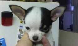 We have one male (beige) and one female (black and white has been sold) short hair chihuahua's, these guys will be very tiny, and are the most adorable Chi's you will ever see. These guys are Applehead Chihuahua's.   I also have 2 adorable black and tan