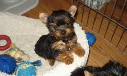 One tiny little, beautiful male CKC reg. yorkie ready for his new home.  He's so tiny.   He's 13 weeks and is only 33 oz.  He has been vet checked, tail docked, de-wormed, 1st shot and micro chip. He's beautiful, fun and full of kisses.  Pic. 4 Dad, pic.