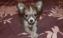 Cute tiny male chihuahua puppy. Has been dewormed. 9 weeks old.
