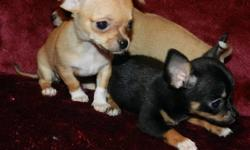 TINY..TINY..TINY..TINY CHIHUAHUA PUPPIES ************************************ READY FOR THEIR NEW HOMES JUST IN TIME FOR CHRISTMAS!!!! Very CUTE  & TINY..TINY..TINY Applehead CHIHUAHUAS... One little girl already is spoken for... SO Only 1 FEMALE ..& 1