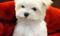 **ready to go January 13th** 5 Maltese pups (4 boys 1 girl) 1st shots received, dewormed and checked by a vet. Pups are in perfect health! Prices range from $850-$1100 depending on breed and size. Sizes range from 4 to 8 pounds fully grown. Puppies go