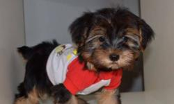 Our Morkies are now ready to go! We have a variety of sizes and colors to choose from. Prices range from $750 to $950 All our puppies have been vet checked, De-wormed and received their 1st shots. Sizes range from 4 to 9 pounds when fully mature. Call us