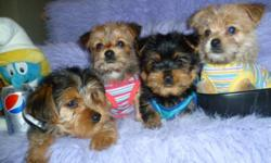 EXTREMELY CUTE BABY MORKIES THESE MORKIES ARE READY FOR THEIR NEW HOME, THEY ARE VERY CLEVER DOGS AND GREAT FOR PEE PAD TRAINING, KNOWN FOR THERE BLACK AND TAN SHINY COATS THAT ARE NON SHEDDING AND HYPOALLERGENIC, THEY ARE ALSO GOOD FOR SMALL OR BIG