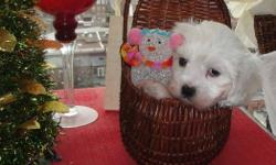 QUALITY HOME RAISED MALSHI BABIES  TINY TOY   Shih-Tzu (Shihtzu) - Maltese approximately 6 to 8 lbs full grown   1st Shots, De-Worming Done   Born October 23rd, 2011 1 Male ALL WHITE 1 Female WHITE WITH BLACK EYES   There is a bit of staining on their