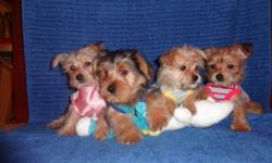 >>>>TINY TOY MORKIES<<<< MALE AND FEMALE AVAILABLE THEY RECIEVED TWO SHOTS, SO YOU WILL SAVE 200$ ON SHOTS. VET CHECKED, DEWORMED, NON SHEDDING AND HYPOALLERGENIC. MATURE TO BE 6-8lbs black and tan 650$ blond 700$ Call now to come see them