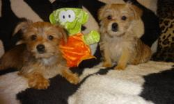 TINY TOY MORKIES CALL NOW AT: 647-834-8268 +++THEY ARE READY TO GO+++ TINY TOY MORKIES: FEMALE AND MALE AVAILABLE. +THEY WERE VET CHECKED, DEWORMED, GOT 1ST AND 2ND SHOTS, SO YOU WILL BE SAVING 200$ ON SHOTS. THE PUPPIES ARE NON SHEDDING AND