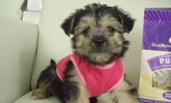 MORKIES   We have very fluffy and friendly Morkie puppies ready to go! There is 1 girl left. We estimate that they will mature to be around 6-6.9 lbs (3 kg) when fully grown. Their tails have been left natural. Our puppies are $695.00 each and come with: