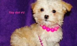 Fluffy, cute and cuddly, a toy yorkie poo is the forever-puppy that never grows up. A cross between a Yorkshire terrier and a toy poodle, this designer dog breed is a popular choice among pet owners who like purse-sized dogs that won't shed on them or