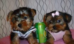 @@@ 647-834-1940 ***READY TO GO *** @@@ 647-834-1940 ADORABLE TINY TOY YORKIES TERRIER FEMALE AND MALE AVAILABLE THE PUPPIES GOT: 1st SHOT ALSO BEEN DEWORMED, CHECKED BY A VET. WILL MATURE TO BE: 6LBS------900$ PUPPIES ARE: NON SHEDDING, HYPOALLERGENIC,