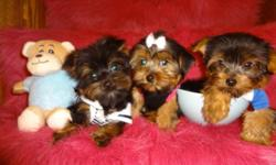 VERY TINY TOY YORKIES, READY TO GO NOW, 416-841-6375, MALE AND FEMALE AVAILABLE, THE PUPPIES GOT 1st SHOT, DEWORMED, VET CHECKED. WILL MATURE TO BE5-6lbs.---800$ Puppies are non shedding, hypoallergenic, very full and fluffy, well socialized and super