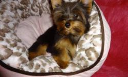 Tiny toy yorkies.  Ready to go now with a very loving family 416-833-9592.  Male and female available.  Dewormed, vet checked, 1st shot, non shedding, hypoallergenic.  Will mature to be 5-6lbs fully grown.  100% written health guarantee.   I will only