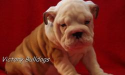 VICTORY BULLDOGS   Has some outstanding Male and Female English Bulldog Puppies Now Available out of Rodney and Ready to go They will be 10 weeks on the 28th of January!  This was a very anticipated repeat breeding!  We had some outstanding puppies the