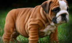 We have a few very Outstanding English Bulldogs We now have Only 1 Male and 1 Female Available.  Our Puppies are Very Stocky, Heavy Wrinkled and some of the best bloodline & best looking bulldogs you will find in North America. All our puppies come