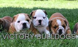 Amazing English Bulldog Puppies Available Born July 12th 2011 (10 Weeks Old).  We have a couple of Phenomenal Quality puppies looking for loving families and are ready to go now.   These puppies are from of the very best bloodlines in UK and Europe We