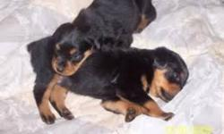 ROTTWEILER PUPPYS GOING FAST TALES AND JEWCLAW DONE GOOD WITH CLIDREN MAKES A GREAT GIFTS  PLEASE CALL