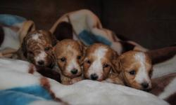 only 1 baby boy left for 480-- the one in the middle in the first pic TOY MALTIPOO PUPPIES (3 BOYS 1 GIRL) NON-SHEDDING, HYPOALLERGENIC MOM -- TOY POODLE 7 LBS DAD -- TINY TOY MALTESE 5 LBS 3 BOYS 1 GIRL IN THE LITTER , MATURE TO 5-7 LBS COMES WITH 1ST