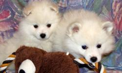 Cute and cuddly - perfect little white Eskies. Full grown sizes will be from 12-16 lbs. Eskimo dogs are super smart - well known for their circus dog performances - tricks, walking a tight rope, etc. They are very loyal family pets and generally get along