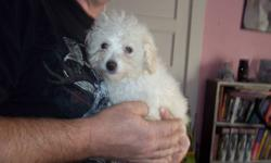 have 2 apricot toy poodle female pups forsale asking 600.00 each first shots serious only
