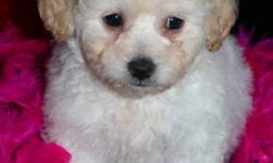 Bichon Toy poodle cross  pups.        These little pups are   Intelligent devoted and eager to please.   Hypoallergenic and non shedding   A Great addition to any family. When full grown will be around 15 pounds.    READY FOR THERE NEW FOREVER HOMES. ALL