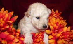 Toy Poodle puppies. Ready in 3 weeks.1 cream females,1 white male,1 sivler female and 1 silver male. Will be vet checked and have 1st vaccination and wormings. Mom is a 9lb Silver toy poodle, Dad is under 5lb white toy poodle. 825.00 includes shipping