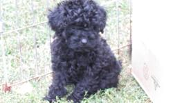 toy poodle puppy 9 weeks old first set shots and dewormed 1 male black puppy $350.00 please call 204-822-4562 or 204-823-1182 no emails please