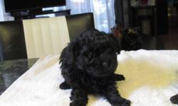 1 male poodle puppy.. 1st shots & dewormed no emails please call 204-822-4562