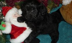 Chihuahua X  Poodle  Better known as PooChi   There is 1 male left.  They are very small petite little puppies.  Our puppies are vet checked, 1st shots, and dewormed.  For more information please call 519-745-6464 or txt 226-218-0973    The average life