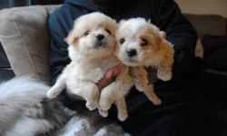 TOY SHIH TZU PUPPIES READY NOW 2 BOYS 2 GIRLS FOR YOU TO CHOOSE HAD 1ST SHOT, DEWORMED, COMES WITH PUPPY FOOD, 1 YEAR HEALTH WARRANTY THEY WILL MATURE TO ABOUT 7-11 LBS 395 EACH FIRM PLEASE CALL FOR VIEWING 416 875 7720