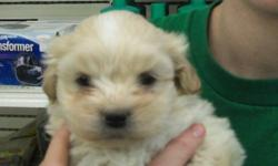 8 weeks old shipoo pups toy shih tzu dad x toy poodle mom non-shedding, hypoallergenic had 1st shot, dewormed 1 time, comes with 1 year health warranty and puppy food, vet documents the pups will mature to 6-9 lbs (between their parents' weight) call for