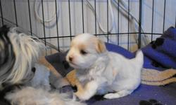 2 Boys and 1 Girl $400.00 The cutest babies ready to go before Xmas. Pups come prespoiled, with Vet check, first shots, dewormed, kennel and pee pad trained. Raised in our home and underfoot with kids and other pets. Babies go to their forever homes with