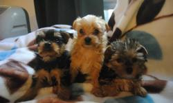 2 MONTHS OLD TOY SIZE MORKIE PUPS ( MALTESE X YORKIE ) 3 BOYS 1 GIRL IN A LITTER, MAATURE TO 5-7 LBS NON-SHEDDING, HYPOALLERGENIC 1 GOLDEN MALE (MIDDLE) -- AVAILABLE FOR $500 1 BLACK AND TAN MALE (LEFT)-- AVAILABLE FOR $500 1 BLACK AND TAN MALE (RIGHT) --