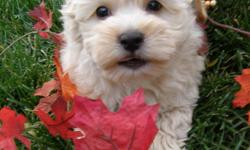 ??? TOY MORKIES ??? Morkies are a combination of the Affectionate, Cuddly Maltese and the Fun loving, happy, outgoing Yorkie ( Yorkshire Terrier )! Making a puppy that is Non-shedding, fluffy, happy, affectionate, cuddly and fun loving! All our puppies