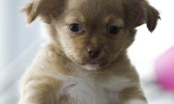 Long haired Chihuahua Mixed with Havanese: is the Cheenese. Since, both the lineages belong to small dogs, the resulting breed is also small in size-about 7-12 lbs. These designer dogs are more affordable than purebred dogs and may be hardier than their