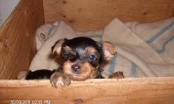 1 male toy yorkie left to go to a good home. First shots with vet records. Very loveable lap dogs that are great with kids and seiners. Mother 5lbs and father 7lbs are on site. Very loyal family dogs. His sister has already been sold and is going to