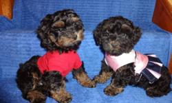 >>>>TOY SIZES YORKIPOO<<<< YORKIPOO TWO MONTH OLD, MALE AND FEMALE AVAILABLE, YORKIPOO'S ARE NON SHEDDING AND HYPOALLERGENIC, FULL, FLUFFY, SOFT COATS. **** VET CHECKED, DEWORMED, 1st SHOT.*** WILL MATURE TO BE 8-10LBS. PUPS GO HOME WITH 2 GUARANTEE AND A