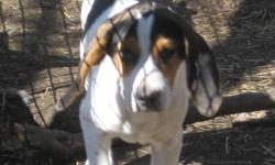 We have four nine month old pups and three adult hound dogs for sale. $1,050.00 each. The pups have a lot of time invested in training on cougar scent and treeing our barn cats. The pics are from May so the pups are quite a bit bigger than shown, I will