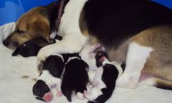 Tri-colored beagle puppies born November 20th, 3 boys and 3 girls. $100 deposit to hold your choice. Will be ready to go on Jan. 15th.