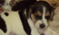 Tri-colored beagle puppies for sale. Born Nov 20th, available to take home Jan 15th. 3 females, 2 males. Will have first shots and vet check. Both parents in home for viewing. $100 deposit required. Call Suzie 778-754-1801