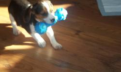 Beautiful male tri-colored beagle for sale. Selling for owner who had to leave town and couldn't bring the dog. Very friendly and happy pup. Comes with toys, food, food dishes, training pads and leash. AKC papers. Call 705-971-8203 SOLD..thanks for the
