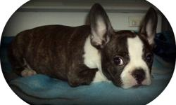French bulldogs cross Boston 3 females available Very well socialized, those girls love to play They have been raised in our home well started on paper training They have had 2 shots, been dewormed on a regular basis have been vet checked and also have