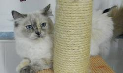 My Name Is Twitter Bug I am 3 years old. I am gentle, quiet and very silky. I am sadly going to miss my mom Wanda at Gentle Bubbles Ragdolls. I just got spayed because it is time for me to retire. I am looking for a quiet loving  forever home. I need