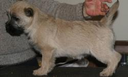 Cairn Terriers Puppies. I had two litters and too many exceptional boys. I kept three back to pick the most suitable show dog for me. The last two are now available for re-homing. Both have been vet checked, micro-chipped, shots up-to-date and liver shunt