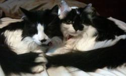 Two beautiful cats approx 7 yrs old. I have a new baby that is making my cats miserable. They are full of personality and need a home that can give them the attention they deserve. Argyle (male) will meet you at the door when you come home. Callie